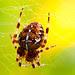 Araneus diadematus - korsedderkopp