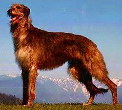 Scottish Deerhound Famous Big Dogs