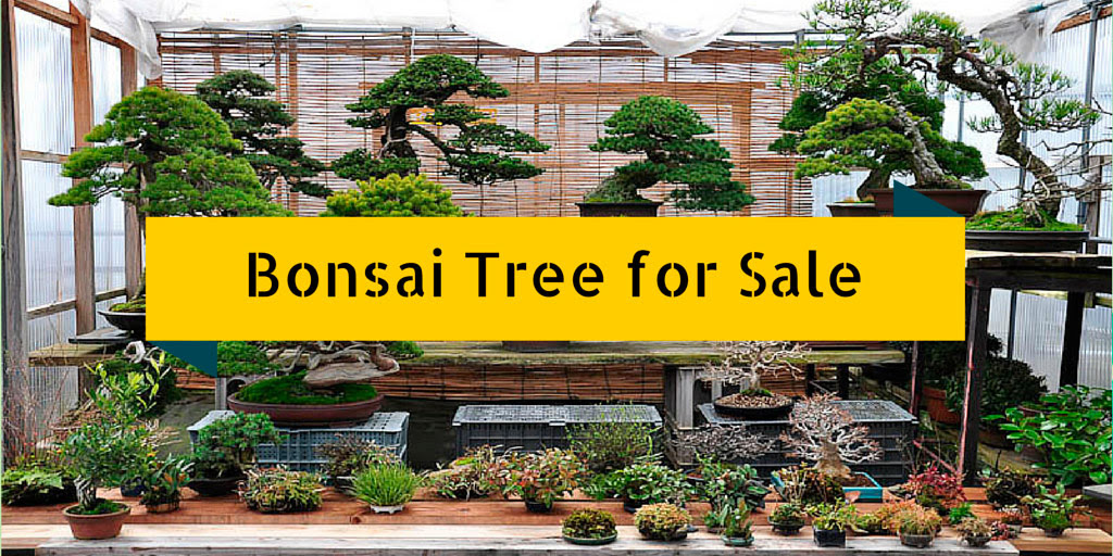 100 Year Old Bonsai Trees For Sale Bonsai Tree
