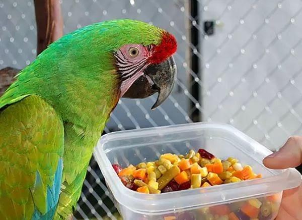 طيور الزينة مع طاهر ماذا يأكل الببغاء وما كمية الاكل المناسبة للببغاء