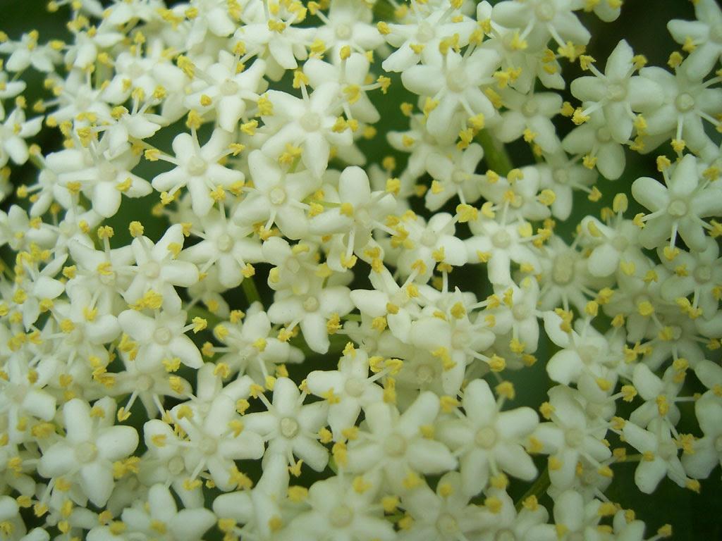 Photo de fleur de sureau (détail)