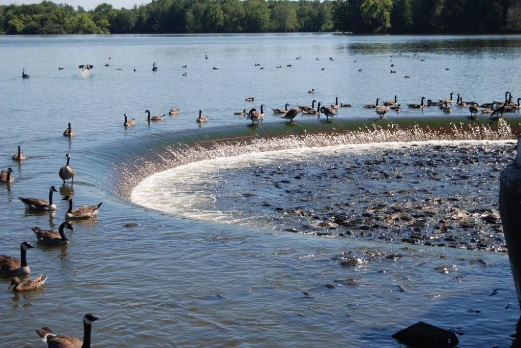O vertedouro de Linesville: onde os patos caminham sobre peixes 02