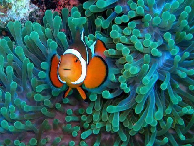 9. Clownfish