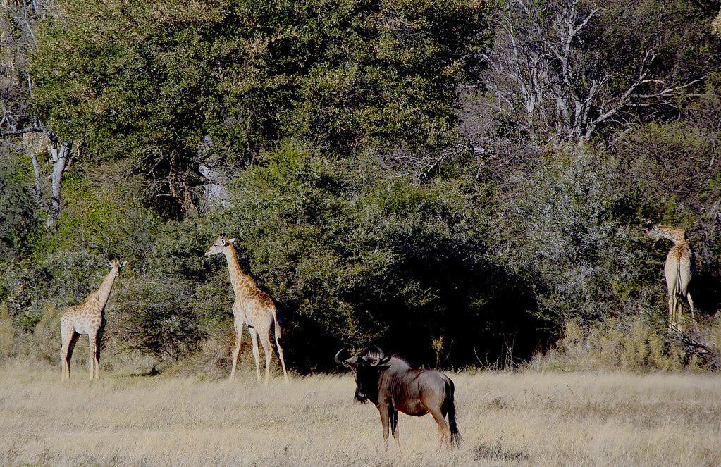 DSC07627 wildebeest and three giraffes