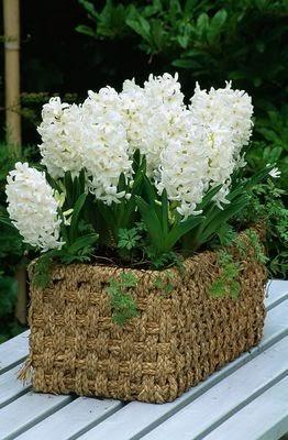 Flower girl hyacinth for Giardino 54 nyc