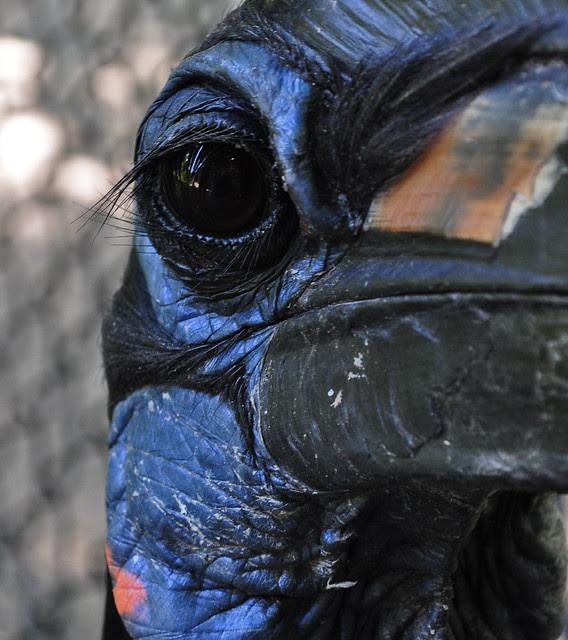Abyssinian Ground Hornbill (2)