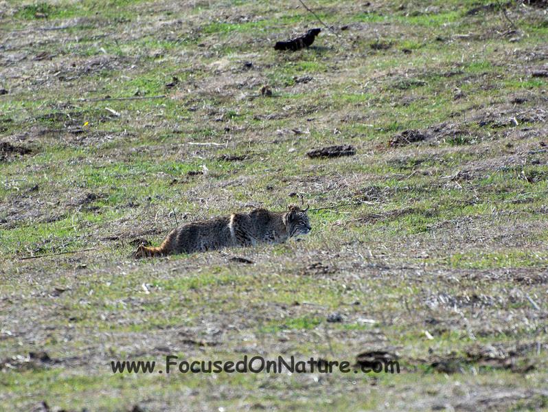 Bobcat Stalking