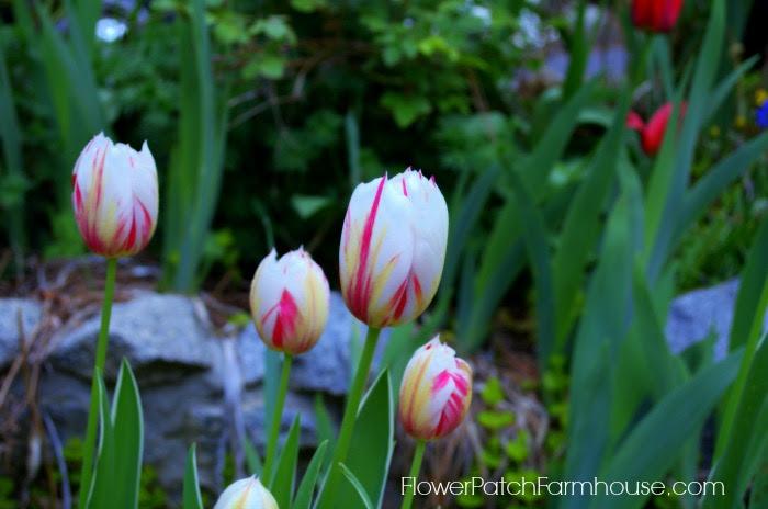 tulips27