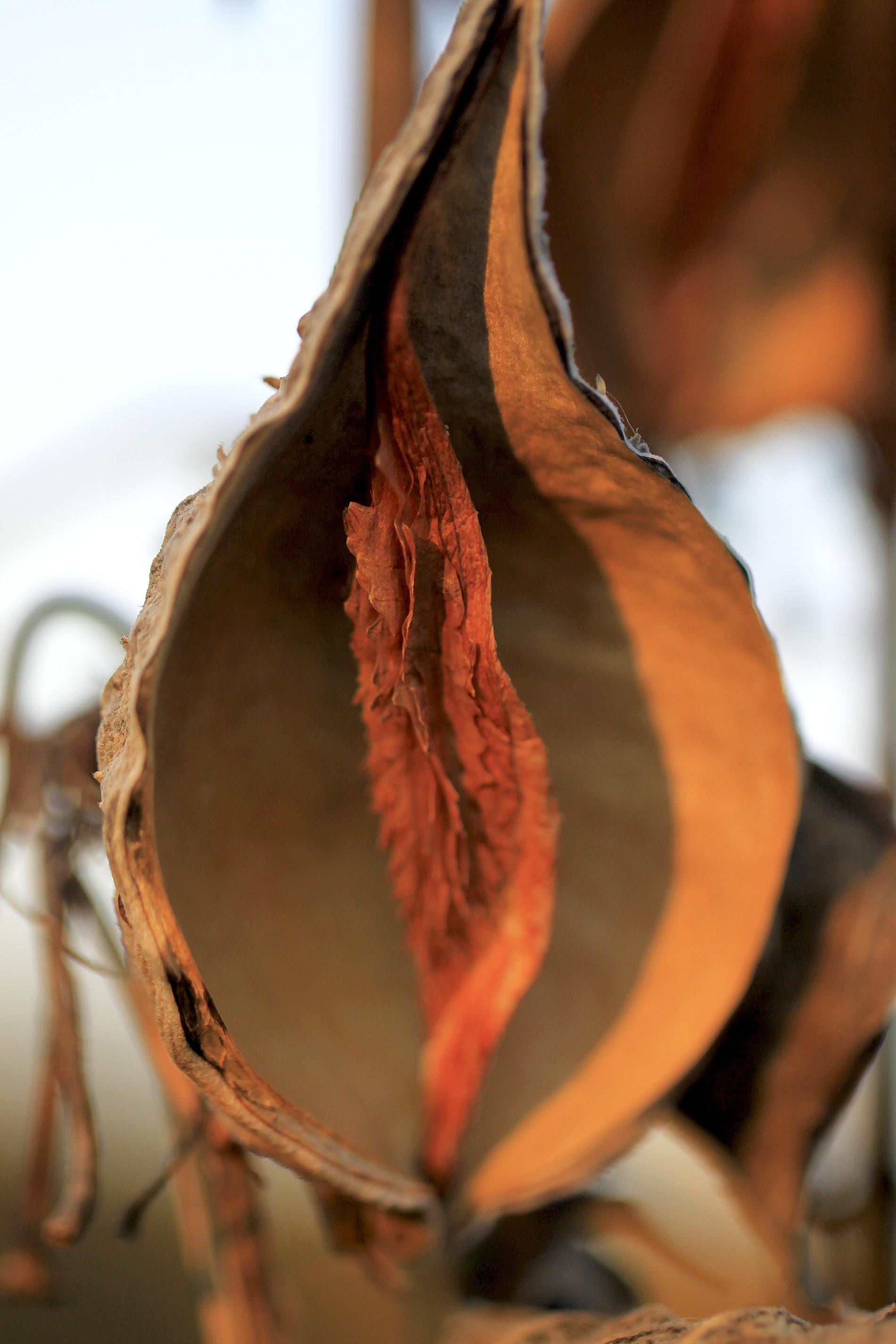 milkweed pod inside