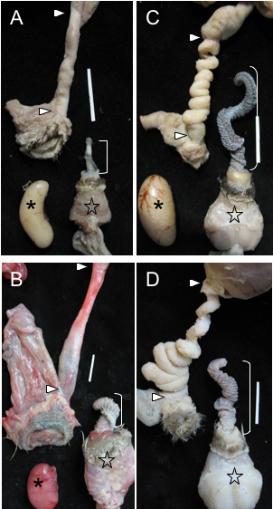 Figure 2.  Examples of genital covariation in waterfowl.