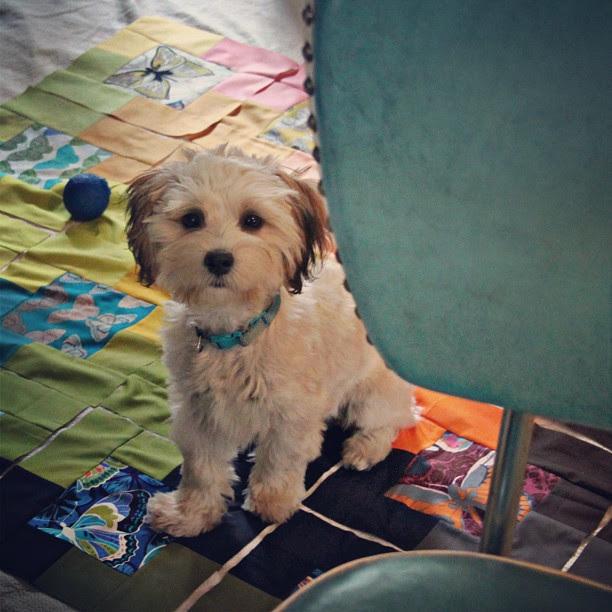 My sweet Penny girl! #penelopedaily #morkielove