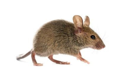Getting Rid of Mice Without Killing Them   ThriftyFun