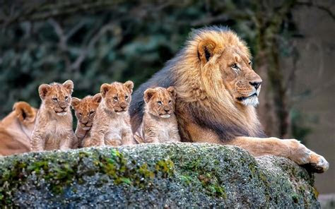 Download Lion Family Baby Lions Wallpaper for desktop
