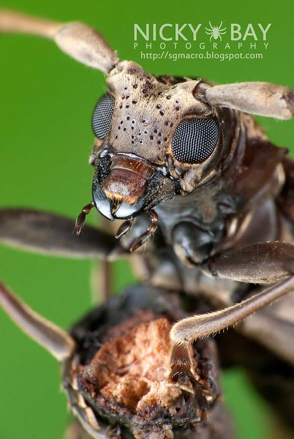 Mangrove Longhorn Beetle (Aeolesthes holosericeus) - DSC_0997