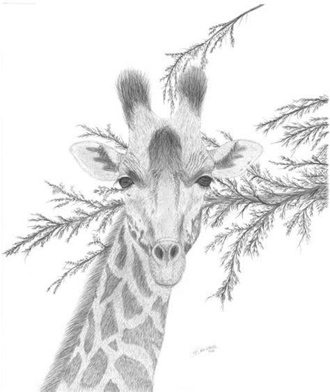 wildlife drawings  sale photo gallery  ron schaefer