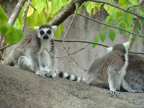 ringtailed lemur is all like meh