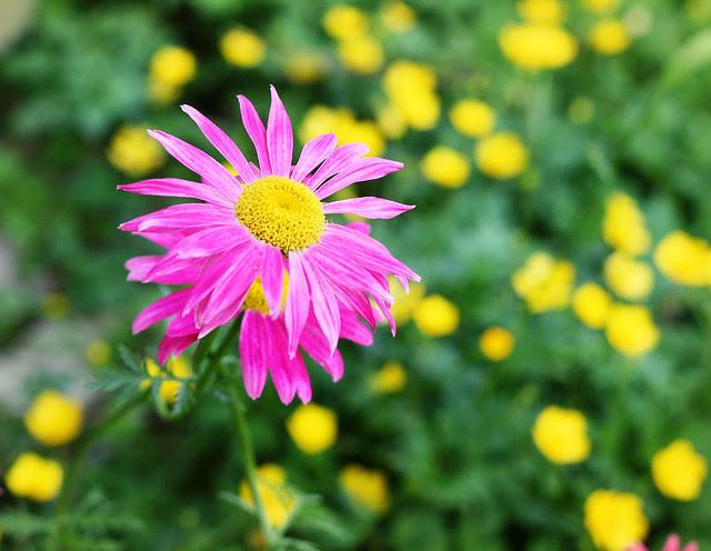 daisy-pink