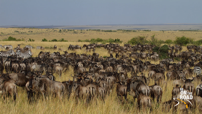 A large herd of Wildebeest and small herd of Zebra graze together