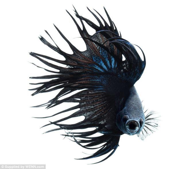 """Ψάρια μονομάχοι ποζάρουν ως """"μοντέλα"""""""