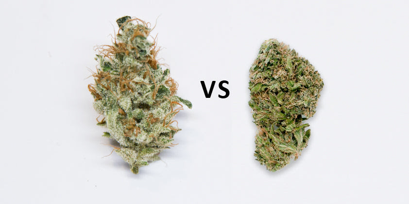 What is a Trichome? The CBD, THC, and Terpene Factories of ...