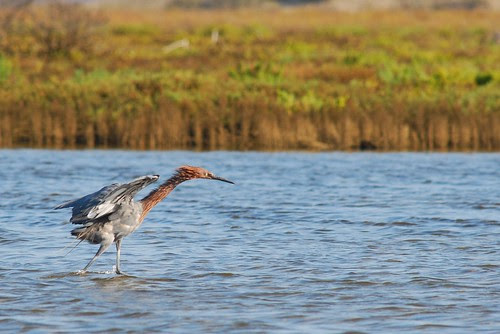 Reddish Egret (Egretta rufescens) by photographerp