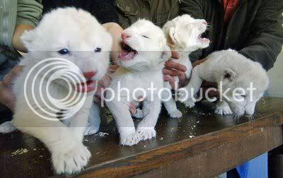Anak Singa Putih (White Lion Cubs)