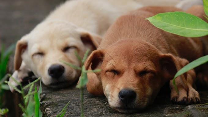Cómo saber si el perro tiene neumonía