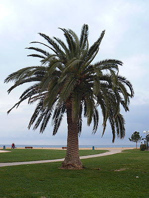 palmier menton .jpg