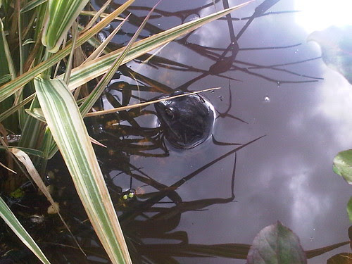 frog in pond Apr 12