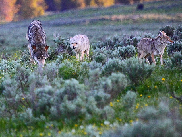IMG_9152 Coyotes and Wolf