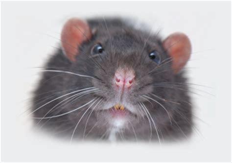 Rat Control ? Beaver Pest Control London