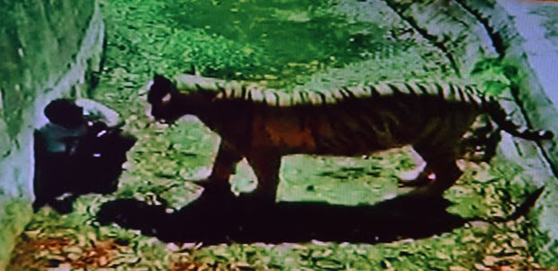 Imagem de TV Indiana mostra o tigre pouco antes do ataque  (Foto: HEADLINES TODAY/AFP)