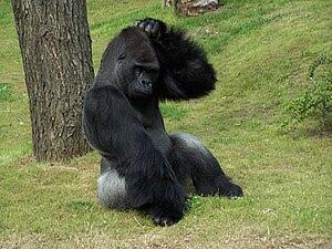 Gorilla Scratching Head