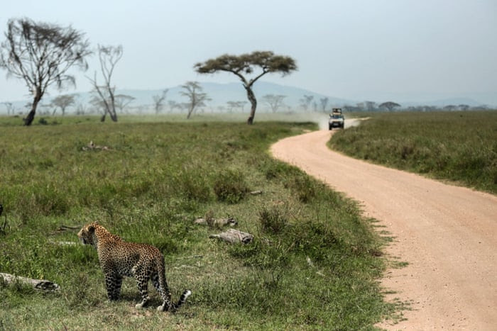 In this photo taken Sunday, Jan. 18, 2015, a leopard walks in Serengeti National Park, west of Arusha, northern Tanzania. The park is the oldest and most popular national park in Tanzania and is known for its annual migration of millions of wildebeests, zebras and gazelles. (