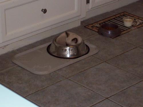 Kitten sleeping a dog food dish