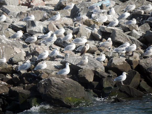 Ed Gaillard: birds &emdash; Gulls and Double-Crested Cormorant, Swinburne Island