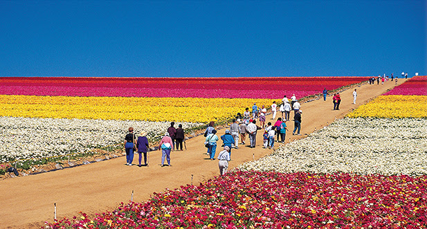 Image result for The Flower Fields at Carlsbad Ranch