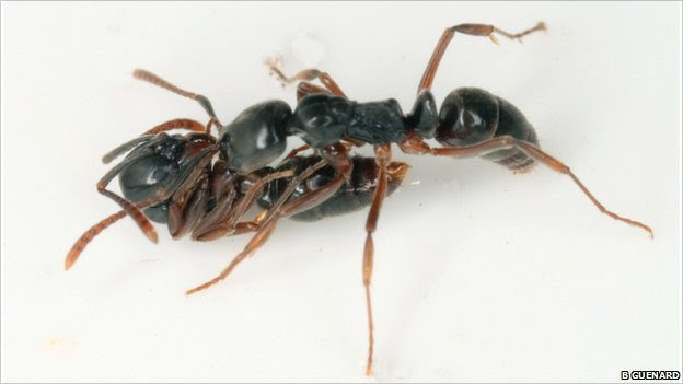 Tandem carrying in ants, a newly discovered foraging behaviour (Image: Benoit Guenard)