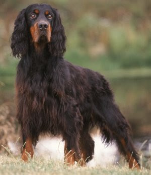 Gordon Setters: Whats Good About Em? Whats Bad About Em?