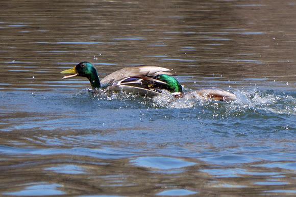 Ed Gaillard: birds &emdash; Duck duel