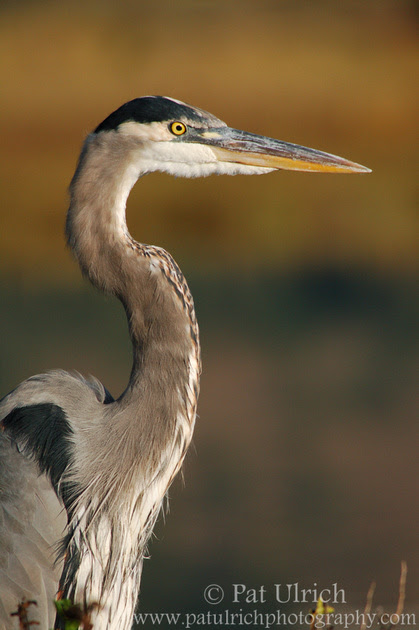 Photographic portrait of a great blue heron