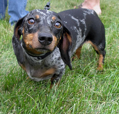 At the Dachshund races