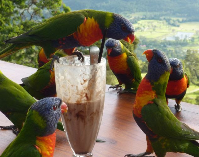 My milkshake! Only the bravest of parrots would dare come between this lorikeet and its drink as the colourful company fought over the chocolate treat