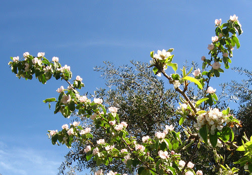 Pear blossoms with olive tree