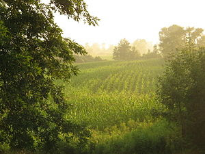 English: corn fields in the summer