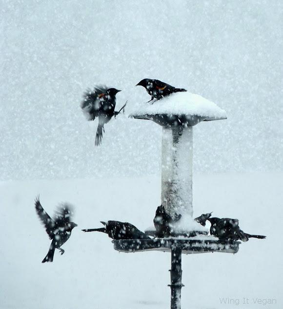 Snowy Red-Winged Blackbirds (Winter 2012)