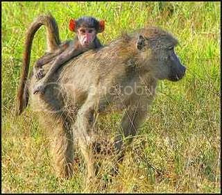 Baboons Pictures, Images and Photos