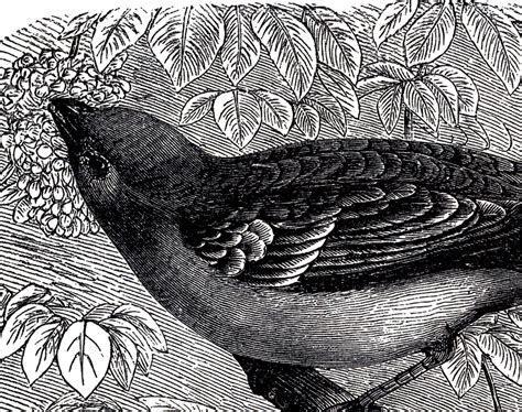 Beautiful Antique Bird Engraving!   The Graphics Fairy