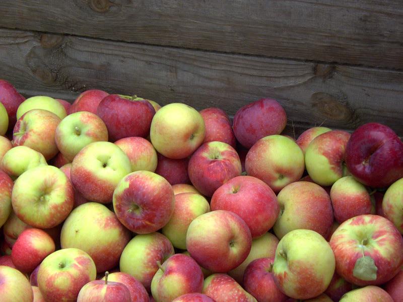 Apple Season - The Harvest