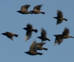 Vogelschwärme Aktuell